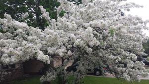 spring tree 2015